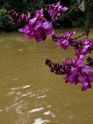 AMAZON FOREST PLANTS, ECUADOR: Purpur Blume in Cuyabeno.