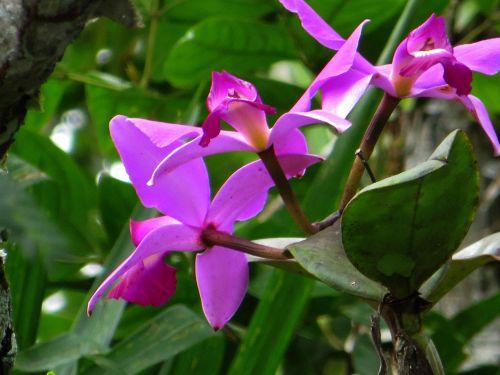 CARACTARÍSTICAS DE LA REGIÓN AMAZÓNICA: Bright orchid are very popular among the Amazon rainforest plants.