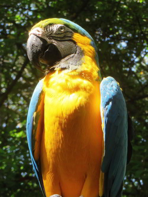 BEST CUYABENO TOURS: Blue and Yellow macaws can be frequently seen when visiting the Amazon in Ecuador.
