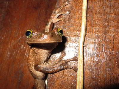 BEST CUYABENO TOURS: Frog waiting to snap up a fat insect