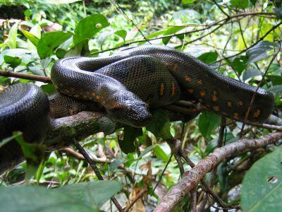 CARACTARÍSTICAS DE LA REGIÓN AMAZÓNICA: Anacondas are infamous Amazon Jungle animals